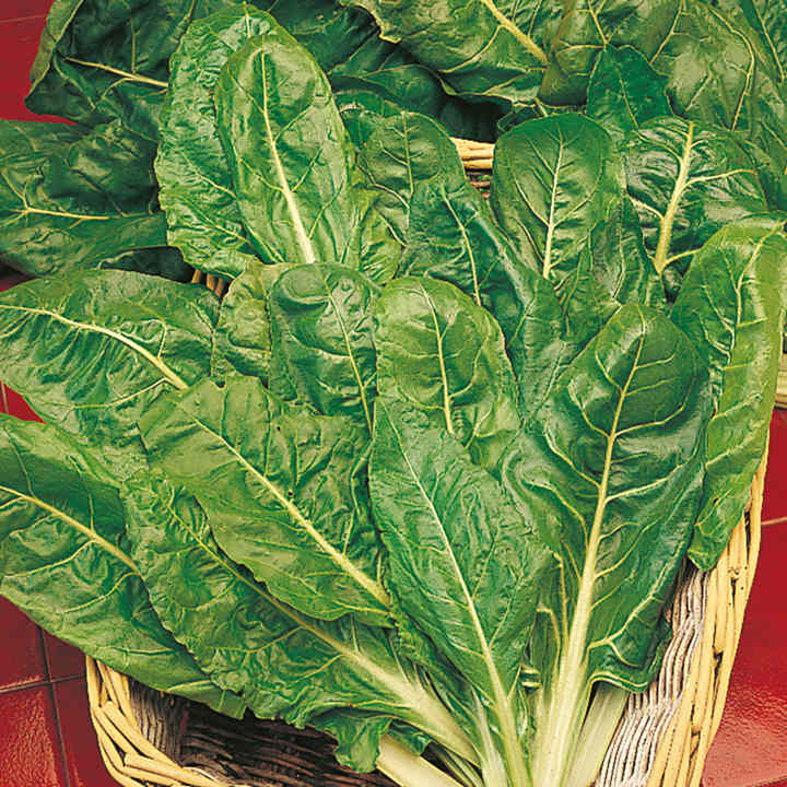 Leaf Beet Plants - Perpetual Spinach