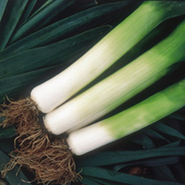 Image of Leek Seeds - Toledo
