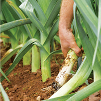 Leek Plants - Autumn Mix