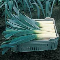 'Leek (organic) Seeds - Pandora