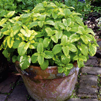 Herb Plant - Lemon Balm