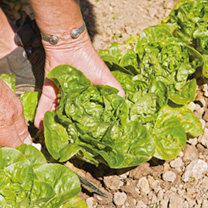 Lettuce Seeds - Vailan-Winter Gem