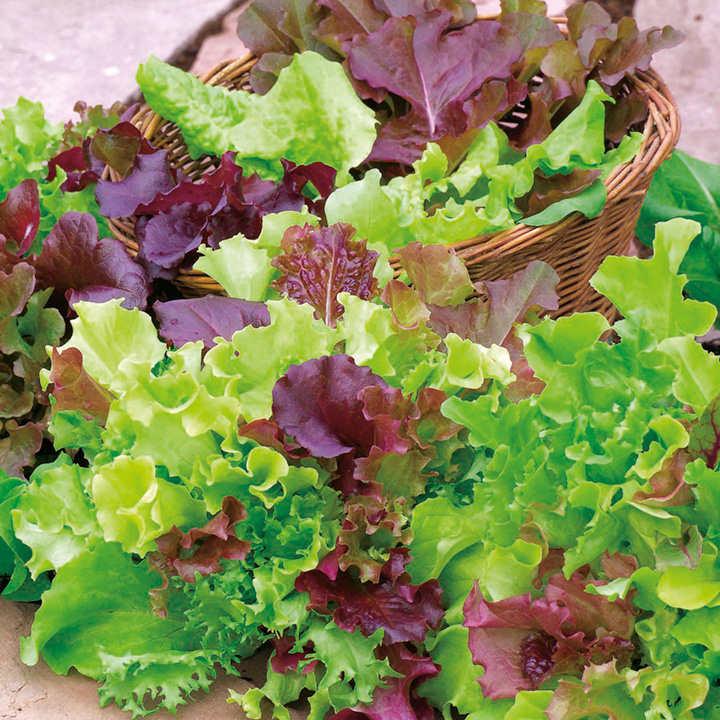 Lettuce (Organic) Seeds - Mix
