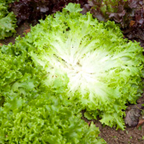 Lettuce Seeds - Multigreen 3