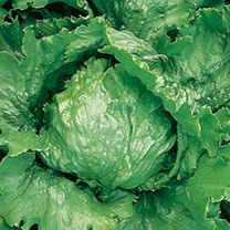 British-bred, large, solid and weighty Iceberg lettuce with tightly packed heads. Resistant to Root Aphid and many lettuce diseases. Row length per pa