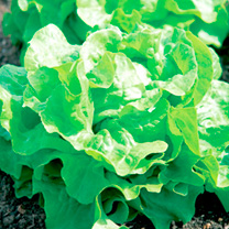 Lettuce Seeds - Buttercrunch