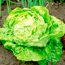 Lettuce Seeds - All-The-Year-Round