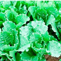 Lettuce Seeds - Crisp Mint Romaine