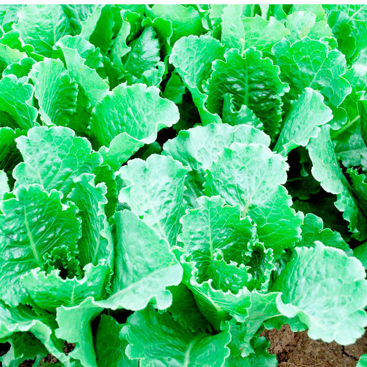 Lettuce Seeds - Crisp Mint Romaine