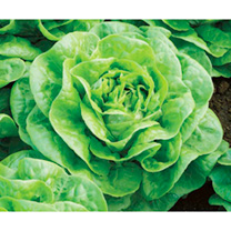 Lettuce Seeds - Brighton