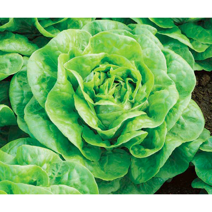 Lettuce Seeds - Brighton