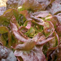 Lettuce Seeds - Grenadine