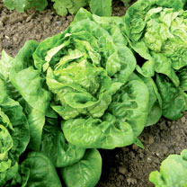 Lettuce (Organic) Seeds - Little Gem