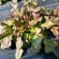 Lettuce Seeds - Bronze Beauty