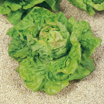 Lettuce (Organic) Seeds - May King