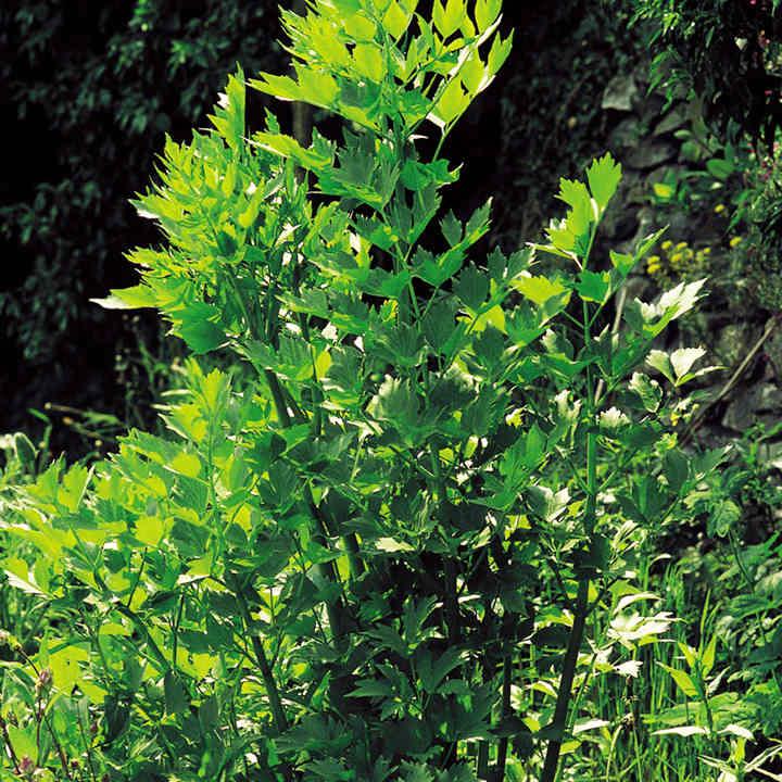 Herb (Organic) Seeds - Lovage