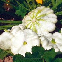 Marrow/Squash Patty Pan (Organic) Seeds - Custard White