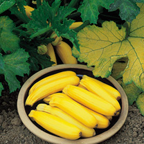 Courgette (Organic) Seeds - Golden Zucchini
