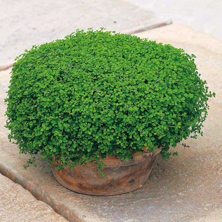 Mint Seeds - Corsican