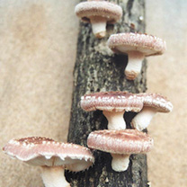 Mushroom Plugs - Shiitake Mushrooms