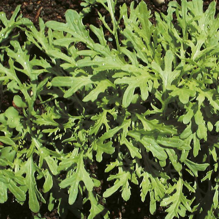 Leaf Salad Seeds - Mustard Golden Streaks