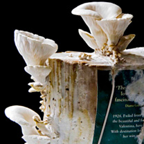 Image of Grey Oyster Mushroom Book Spawn