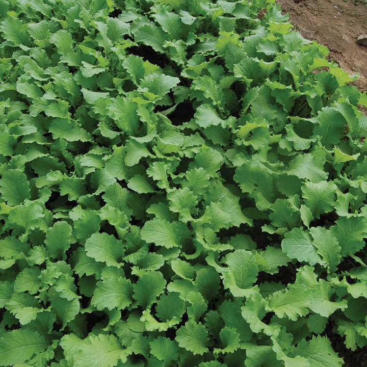 Leaf Salad (Organic) Seeds - Mustard Green Wave