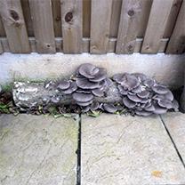 Mushroom Plugs - Oyster Mushrooms