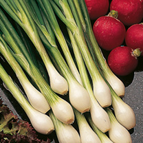 A very vigorous development of salad onions. British bred, Guardsman produces straight pencil-like stems with a mild taste. RHS Award of Garden Merit