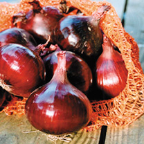 A first-rate onion with strong red external colour and pearl-like, white flesh. Excellent flavour, good storage ability unusual in red onions and good