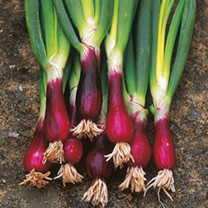 A dual purpose onion! Use this tasty red variety as a salad onion or grow on for use as a bulb type. If growing as a bulb onion sown direct outside, y