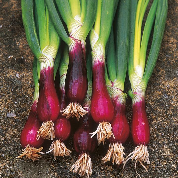 Onion (Spring) Lilia Seeds
