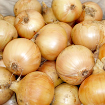 An improved Santero-type onion. Like its namesake, it's an early maincrop variety with good resistance to bolting and to Downy Mildew. The copper-brow