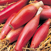 An attractive, unusually shaped long red Italian onion from Tuscany. Sweet-fleshed and ideal raw in salads or for use in casseroles etc. Stores well.