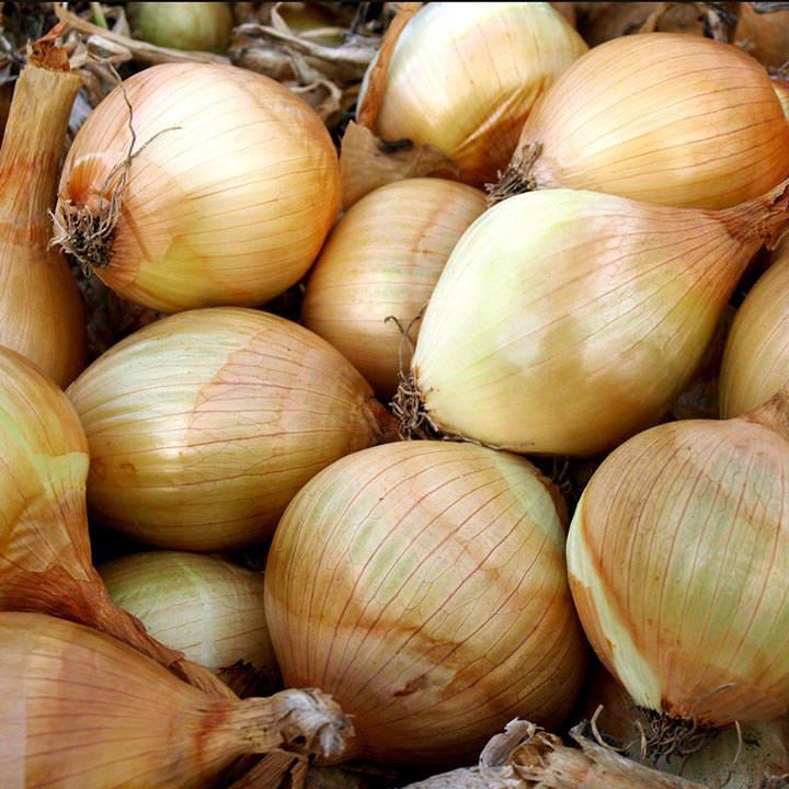Onion (Organic) Seeds - Ailsa Craig