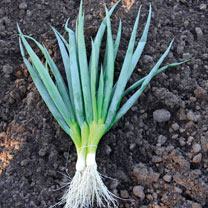 Onion Salad (Organic) Seeds - Ishikura Bunching