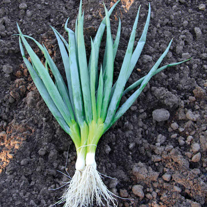 Onion Salad (Organic) Seeds - Ishikura Bunching