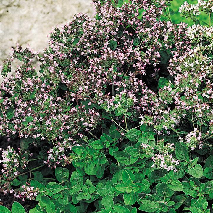 Oregano Seeds - Dobies of Devon