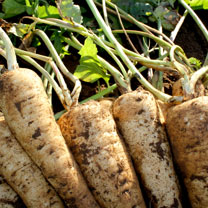 Parsnip variety with extremely white, heavy, uniform roots and a strong resistance to canker. A vigorous F1 variety which is fantastic for the kitchen