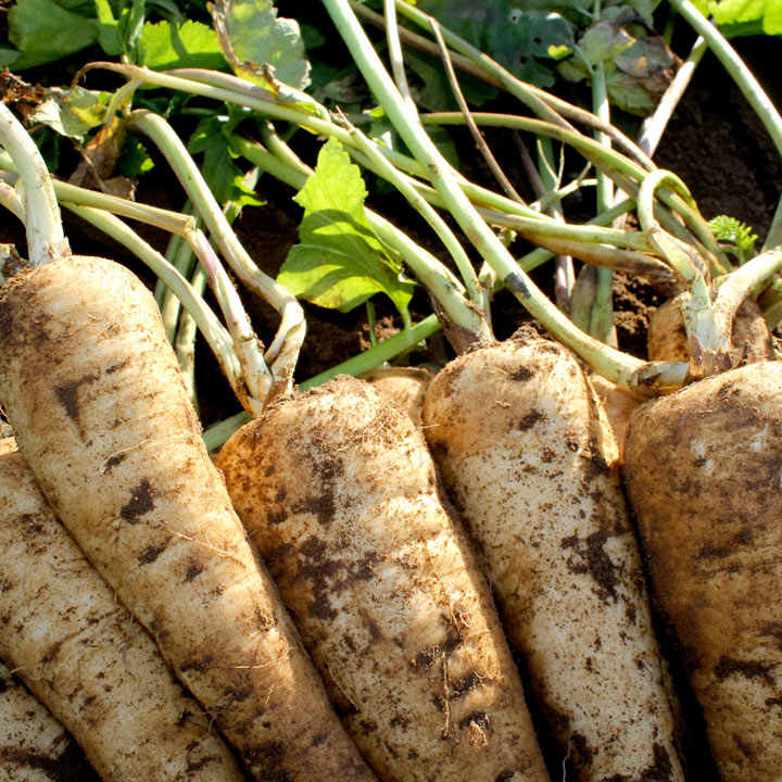 Parsnip Seeds - Panorama F1