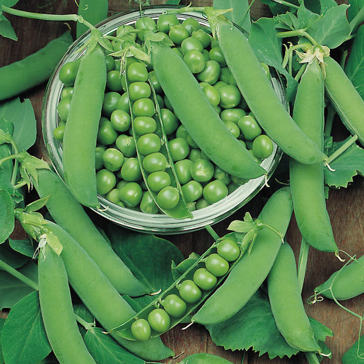 Growing Garden Peas: Pea Maincrop Ambassador (15)