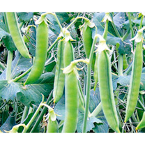 Pea Seeds - Tendrilla
