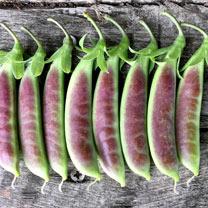 Pea (Mangetout) Plants - Spring Blush