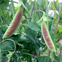 Pea Mangetout Plants - Spring Blush