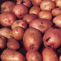 Seed Potatoes - Maxine 1kg