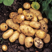 Image of Seed Potatoes - Lady Christl