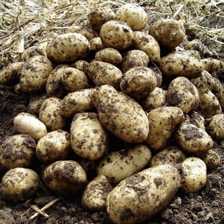 Seed Potatoes - Aaran Pilot