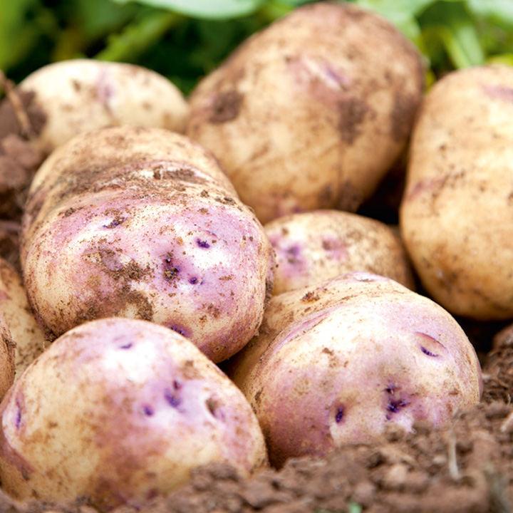 Seed Potatoes - Kestrel