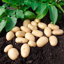 A new premium salad variety, bursting with flavour! Lots of tasty small potatoes that are suitable for steaming, boiling, crushing and even roasting.