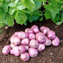 Seed Potatoes - Arran Victory